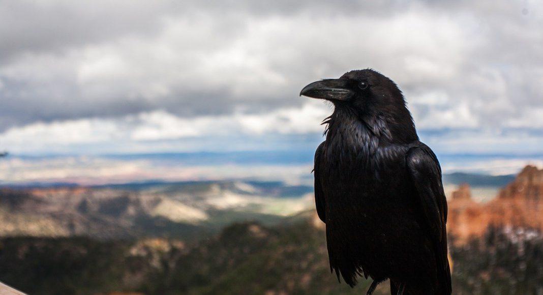 Black crow looking