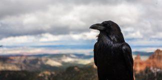 Corvo preto olhando