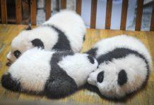 Urso panda dormindo